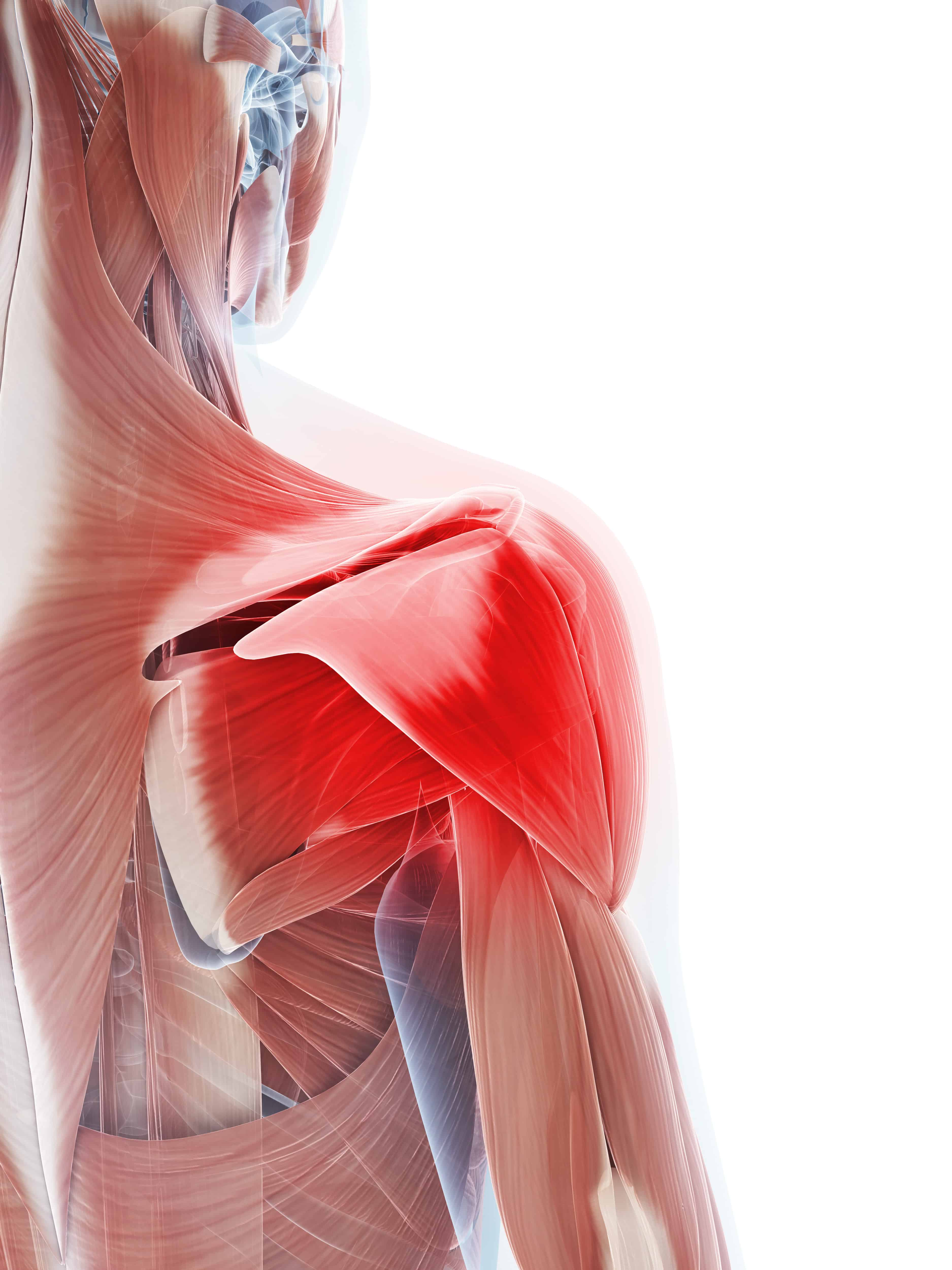 Shoulder Series: structure and function - Set Physical Therapy